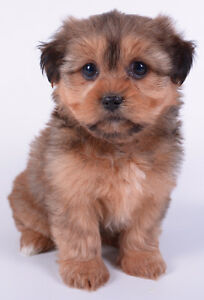 *** TEDDY BEAR MORKIE PUPPIES *** READY NOW