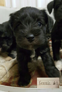 Miniature Schnauzers- all pups have a deposit on them