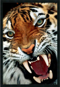 Bengal Tiger Panthera tigris Close Up by Anonymous Framed Photog