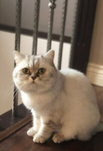 Pure Breed British female cat 2 years old
