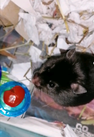 Syrain Hamster READ DISCRIPTION