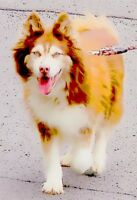 WANTED SMALL PURE BRED SIBERIAN HUSKY