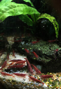 Crystal Black - Crystal Red - Bloody Mary - Blue Velvet Shrimps