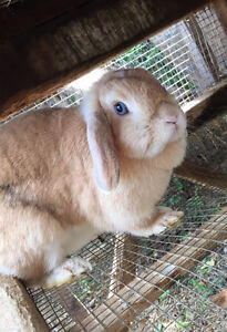 Mini lop doe