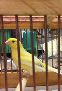 Canaries - selected breeding  pairs Male/Female