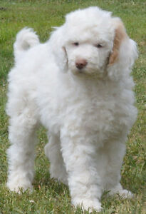 REGISTERED SMALL STANDARD SIZE Poodle Puppies !