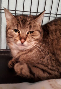 Val - rescued brown tabby female for adoption
