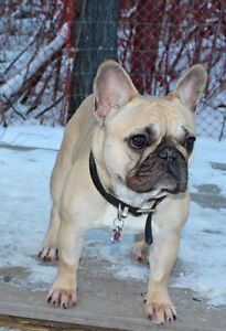 RETIRED French Bulldogs, Pet homes only