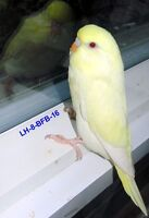 ENGLISH BABY BUDGIES FOR SALE
