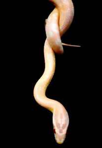High Pink Salmon Cornsnakes To Be Rehomed!!!