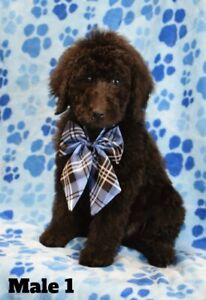 Standard poodle puppies 3 males left