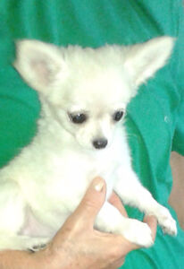 "Chihuahua   Tea Cup  Apple  Head Female   ""Rare all White"""
