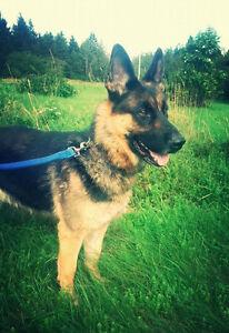 Purebred German Shepherd Female in Need of Good Home