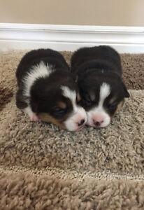 Pembroke Welsh Corgi Puppies