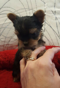 YORKIE PUPPY ***ALL SOLD ***