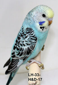 Friendly Hand trained Baby Budgies for Sale