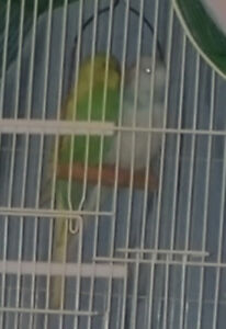 Budgies to go to a good home