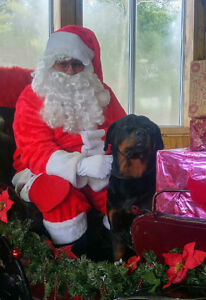 Rottweiler Looking For His Forver Home