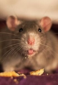 Looking for Newly Weaned Female Rats