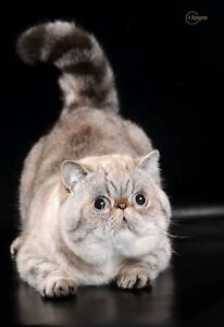 lpoking for exotic shorthair male cat