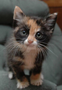 Wanted: Calico or all white FEMALE kitten
