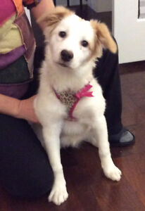 Gorgeous, Playful Female Border Collie Pup Needs New Home!