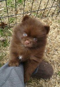 Pomeranian registered male puppy