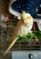 Lost YELLOW Cockatiel