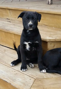 Mastif/German Shepard/Collie Puppy