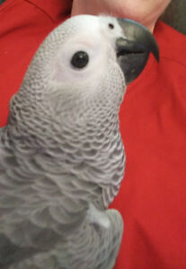 Beautiful 7 Month Old Female Congo African Grey Parrot