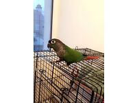 Green cheek conure male parrot