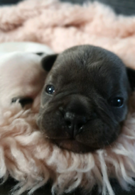 French bulldog puppies 《only 2 remaining》