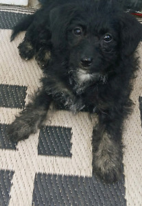 Female Poodle X puppy available now.