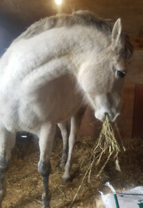 8yo Grey QH/Perch Mare For Sale