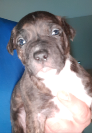 Xl Bully x English Staffordshire Bull Terrier Pups