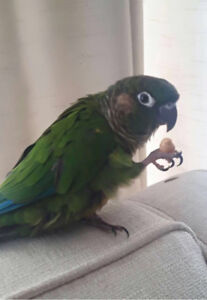 Update! Lost green cheek conure