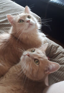 2 Male Ginger Cats to a Good Home