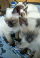 Siamese Kittens Available: Blue-Point & Seal-Point