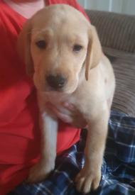 Labrador Male Puppies
