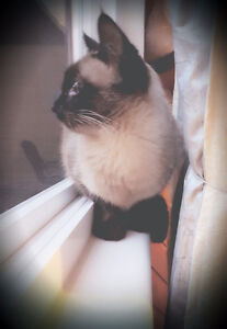 Female ragdoll for rehoming