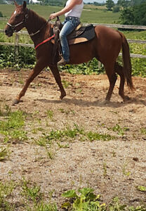 2016 qh gelding. backed. great project for someone