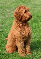 GROOMING FOR AUSTRALIAN LABRADOODLES