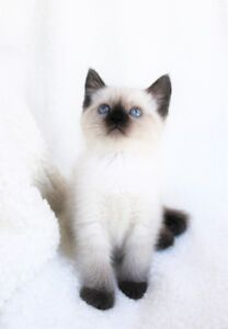 Ragdoll/ Siamese kittens are available for their new homes