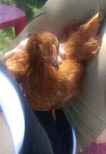 Young hens