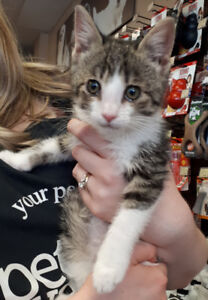 Jax - rescued brown & white tabby male kitten for adoption