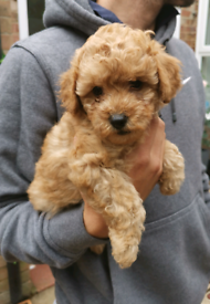 Poodle | Dogs & Puppies for Sale - Gumtree