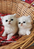 Kitten Persian & Exotic / Read the ads