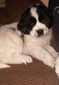 Female Lanseer Newfoundland Puppy