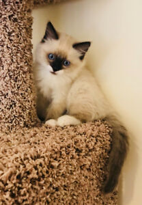 The sweetest soft and fluffy baby Dollface Ragdolls!