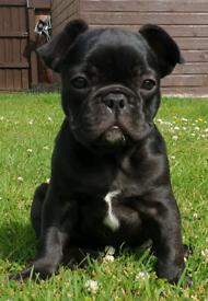 Last French Bulldog Puppy